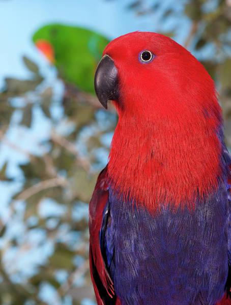 Eclectus Parrots Photograph - Eclectus Eclectus Roratus by Gerard Lacz