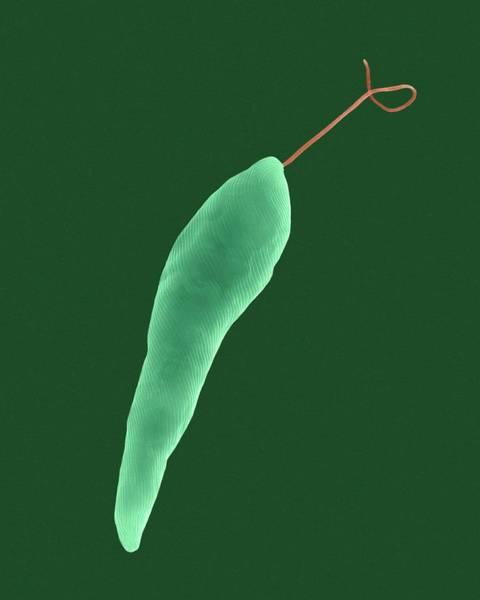 Wall Art - Photograph - Euglena by Dennis Kunkel Microscopy/science Photo Library