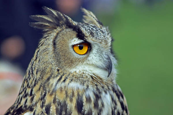 Photograph - European Eagle Owl by Tony Murtagh