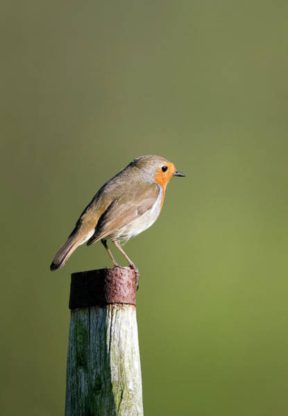 Red Robin Photograph - European Robin by John Devries/science Photo Library