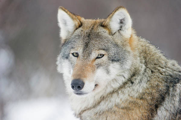 Carnivora Photograph - European Wolf In Winter by Roger Eritja
