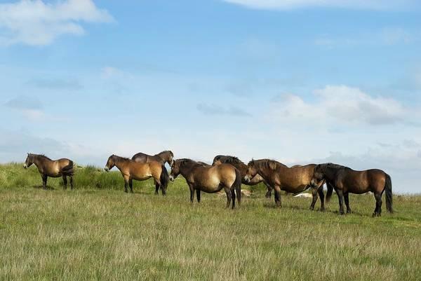 Moorland Photograph - Exmoor Ponies by David Aubrey