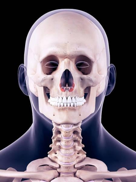 Nasalis Photograph - Facial Muscles by Sebastian Kaulitzki/science Photo Library