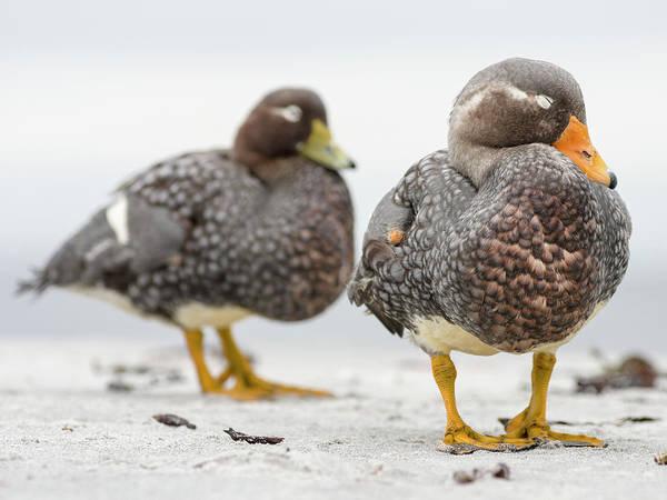 Wall Art - Photograph - Falkland Flightless Steamer Duck by Martin Zwick
