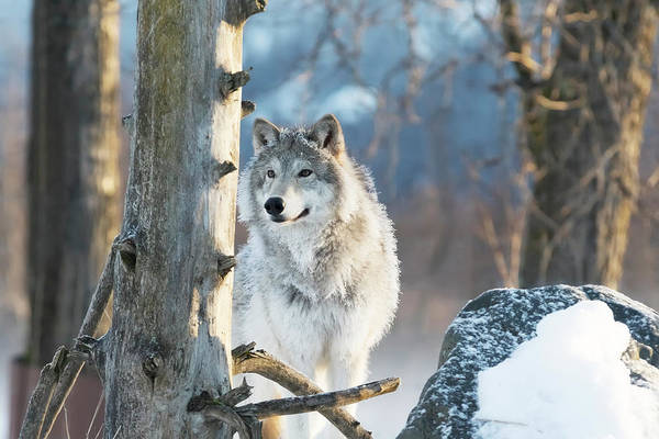 Winter Photograph - Female Gray Wolf  Canis Lupus by Doug Lindstrand