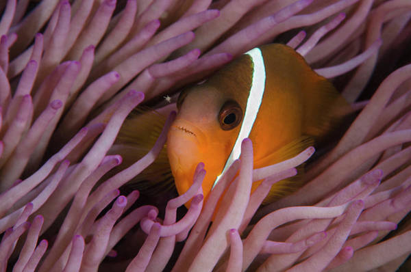 Anemonefish Photograph - Fiji Anemone Fish (amphiprion Barberi by Pete Oxford