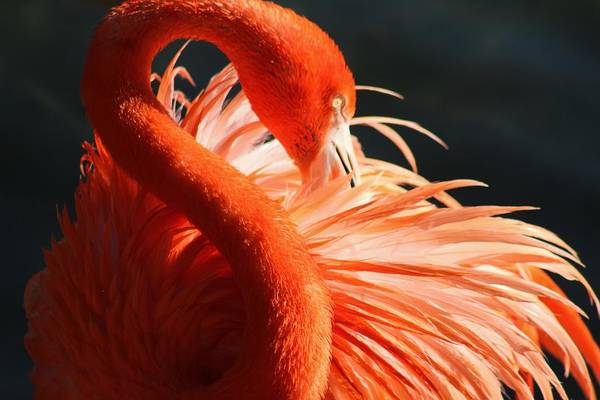 Water Birds Wall Art - Photograph - Flamingo Beauty by Valia Bradshaw