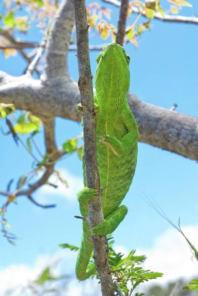 Wall Art - Photograph - Flap-necked Chameleon In A Tree by Philippe Psaila/science Photo Library
