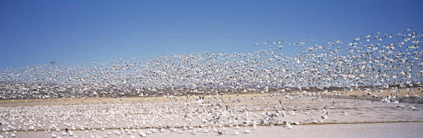 Wall Art - Photograph - Flock Of Snow Geese Flying, Bosque Del by Panoramic Images