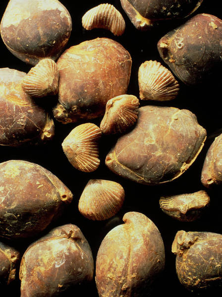 Period Photograph - Fossil Brachiopods by Sinclair Stammers/science Photo Library