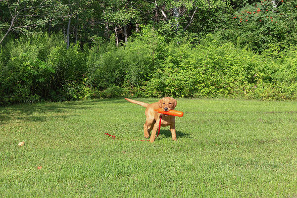 Wall Art - Photograph - Fox Red Labrador Retriever by Linda Arndt