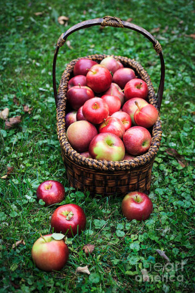 Sin Photograph - Basket Full Of Fresh Picked Apples by Edward Fielding