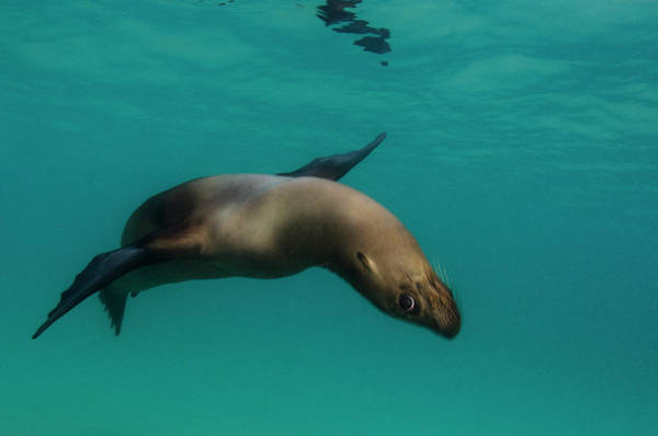 Ecuador Wall Art - Photograph - Galapagos Sea Lion (zalophus Wollebaeki by Pete Oxford