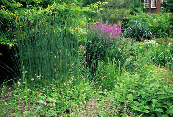 Bulrush Wall Art - Photograph - Garden Display by Duncan Smith/science Photo Library
