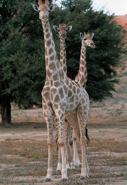 Wall Art - Photograph - Giraffes by Tony Camacho/science Photo Library