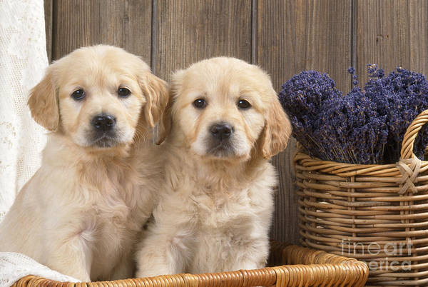 Breed Of Dog Photograph - Golden Retriever Puppies by John Daniels
