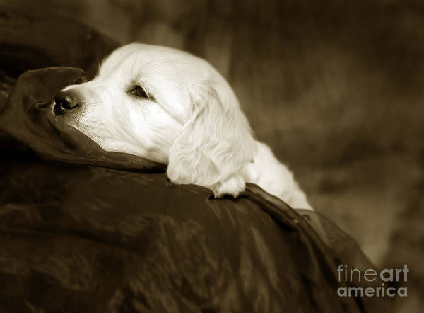Hund Wall Art - Photograph - Golden Retriever Puppy by Angel Ciesniarska