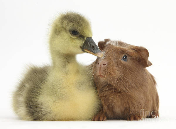 Goslings Wall Art - Photograph - Gosling And Baby Guinea Pig by Mark Taylor