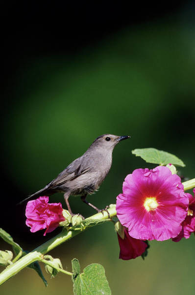 Hollyhock Photograph - Gray Catbird (dumetella Carolinensis by Richard and Susan Day