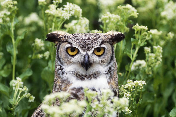 Wall Art - Photograph - Great Horned Owl by Jeffrey Lepore
