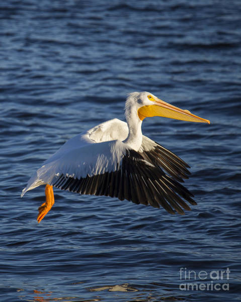 Pelican Wall Art - Photograph - Great White Pelican On The Water by Twenty Two North Photography