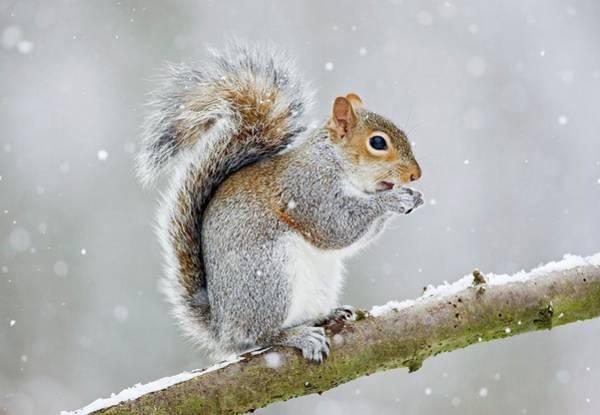 Grey Squirrel Photograph - Grey Squirrel by John Devries/science Photo Library