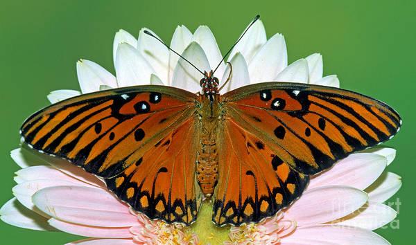 Gulf Fritillary Wall Art - Photograph - Gulf Fritillary Butterfly by Millard H. Sharp
