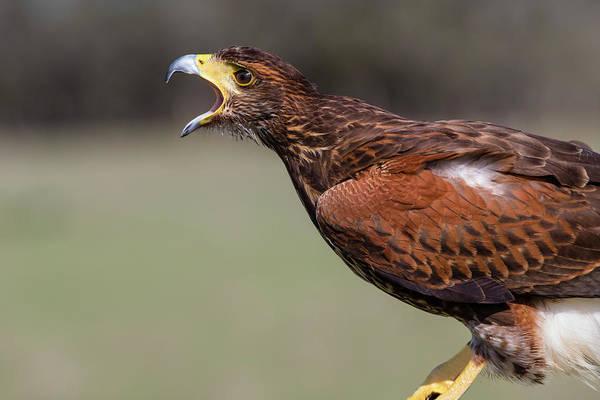 Hawk Creek Photograph - Harris's Hawk, Parabuteo Unicinctus by Larry Ditto