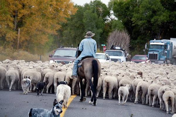 Herding Dog Wall Art - Photograph - Herding Sheep by Jim West