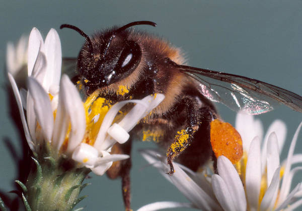Wall Art - Photograph - Honeybee by Harry Rogers