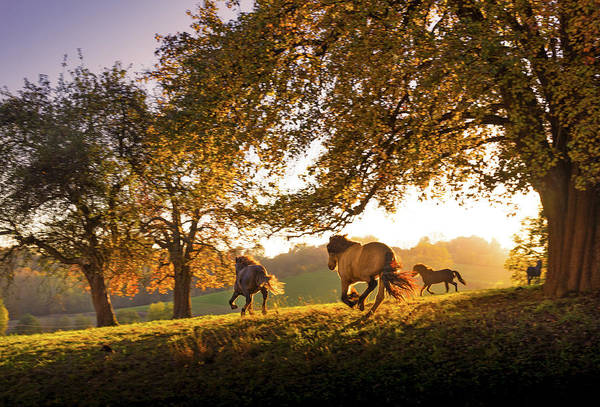 Working Animals Photograph - Horses Running At Sunset, Baden by Animal Images