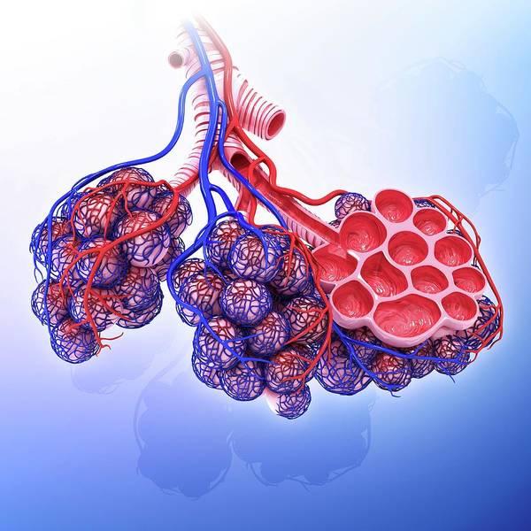 Wall Art - Photograph - Human Alveoli by Pixologicstudio