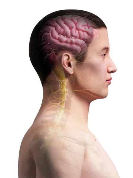 Spinal Cord Photograph - Human Brain by Sebastian Kaulitzki
