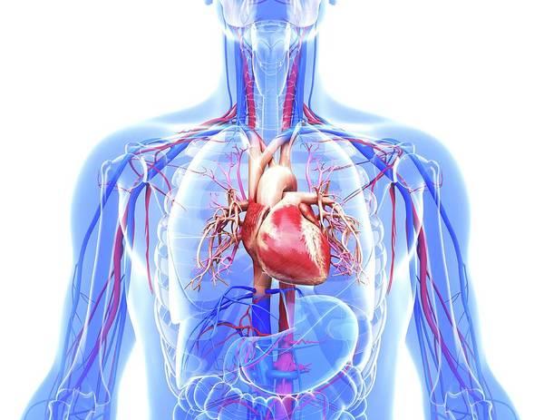 Bronchus Photograph - Human Cardiovascular System by Pixologicstudio
