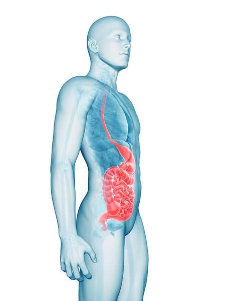 Esophagus Wall Art - Photograph - Human Digestive System by Sebastian Kaulitzki