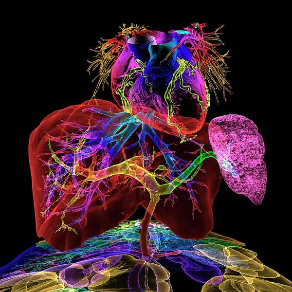 Wall Art - Photograph - Human Internal Organs by K H Fung/science Photo Library
