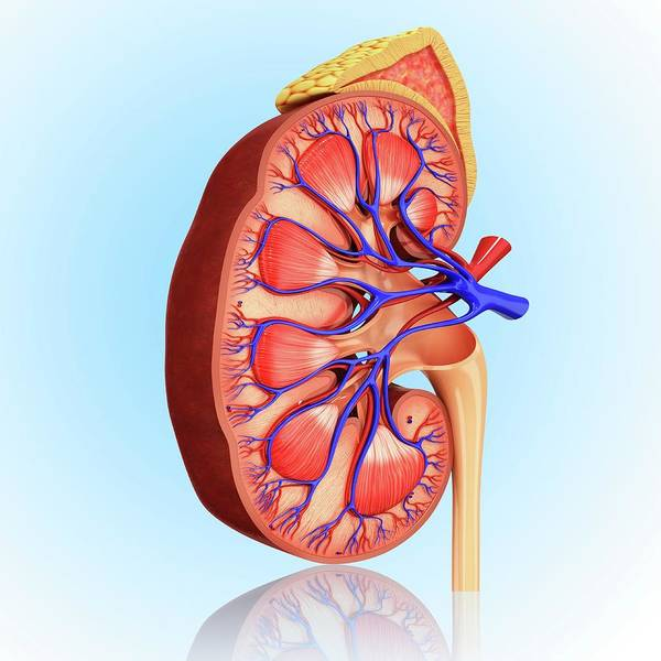 Adrenal Gland Photograph - Human Kidney by Pixologicstudio