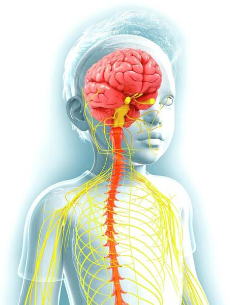 Spinal Cord Photograph - Human Nervous System by Pixologicstudio