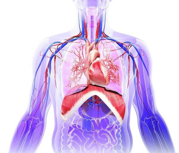 Bronchus Photograph - Human Respiratory System by Pixologicstudio