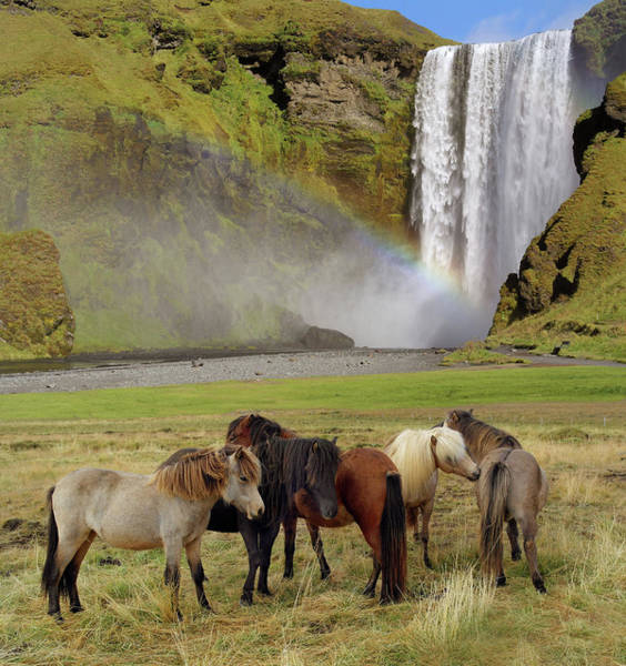 Herd Of Horses Wall Art - Photograph - Icelandic Horses by Images Etc Ltd