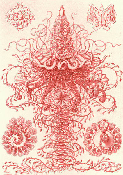 Wall Art - Drawing - Illustration Shows Marine Invertebrates. Siphonophorae by Artokoloro