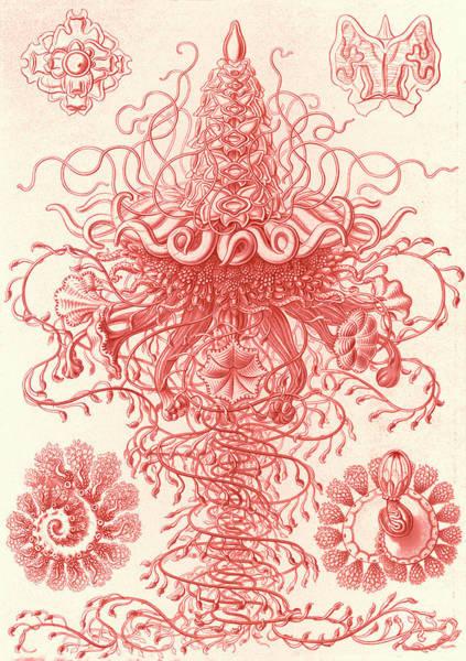 Wall Art - Drawing - Illustration Shows Marine Invertebrates. Siphonophorae by Artokoloro