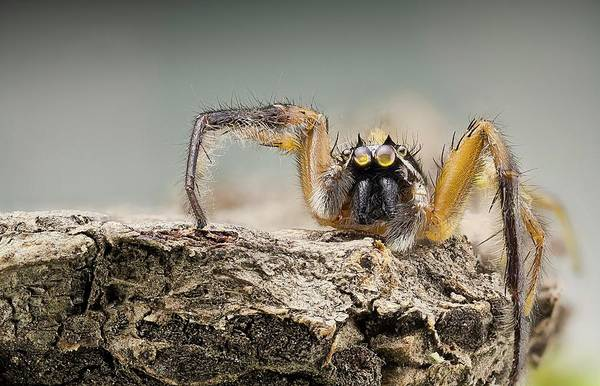 Spider Rock Photograph - Jumping Spider by Nicolas Reusens