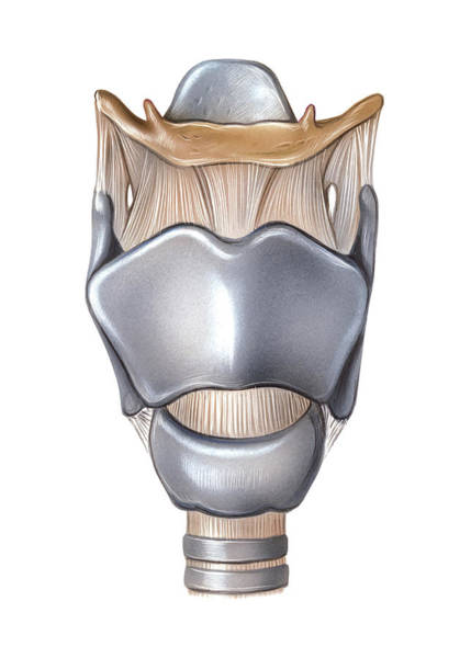 Upper Body Photograph - Larynx by Asklepios Medical Atlas