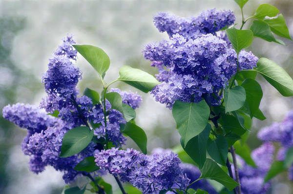 Wall Art - Photograph - Lilac (syringa Vulgaris) by Maria Mosolova/science Photo Library