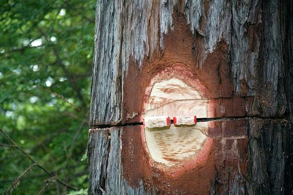 Fort Bragg Wall Art - Photograph - Logging Redwood Trees by Jim West