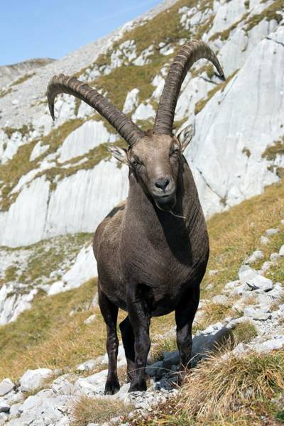 Ibex Wall Art - Photograph - Male Alpine Ibex by Dr Juerg Alean