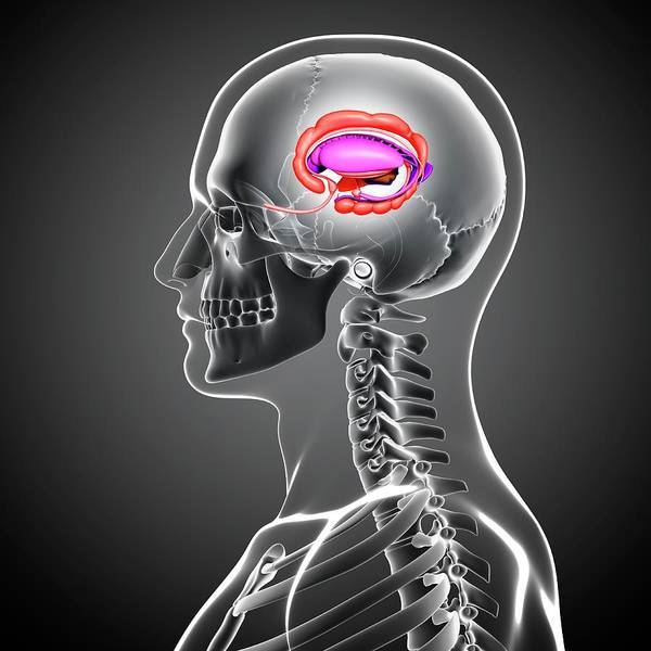 Head And Shoulders Photograph - Male Brain by Pixologicstudio/science Photo Library