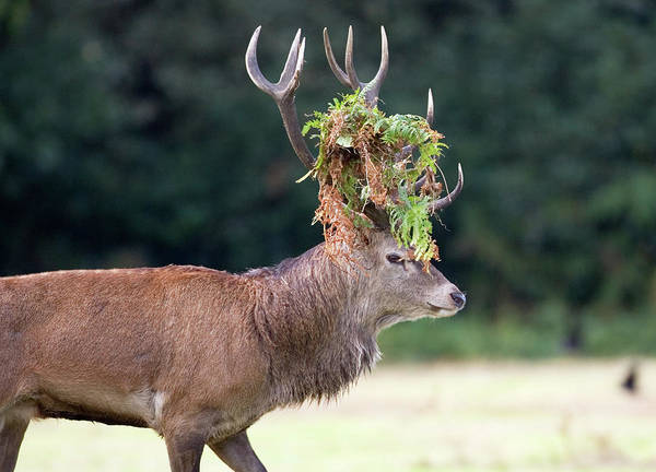Wall Art - Photograph - Male European Red Deer by John Devries/science Photo Library