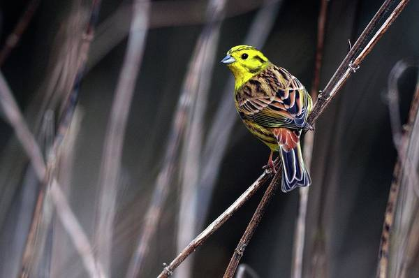 Wall Art - Photograph - Male Yellowhammer by Colin Varndell